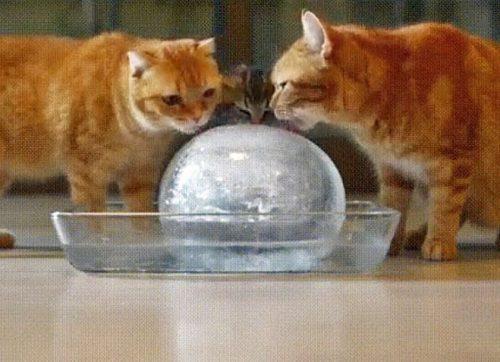 Domestic cats lick ice