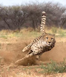 Cheetah in semi-open landscape