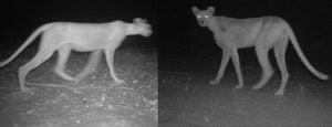 Cheetahs at night