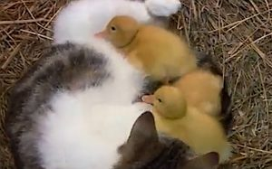 Ducklings suckling on cat