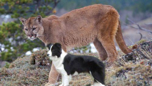 Puma and collie size comparison