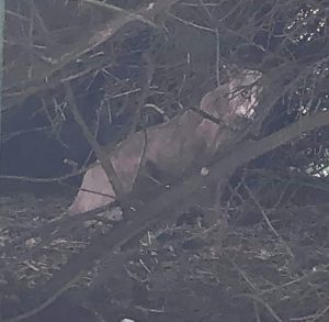 Claimed clear picture of puma in UK countryside!