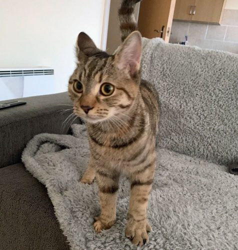 6-month-old tabby female on Pets4Homes
