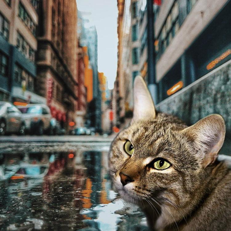 African wildcat in urban environment