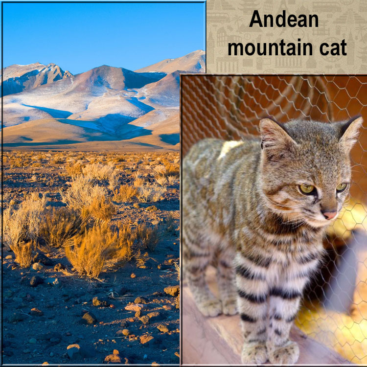 Andean mountain cat and the place where it lives