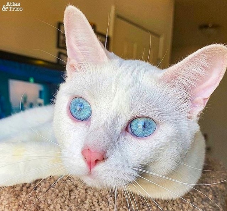 Blue eyed beauty Turkish Angora Mix