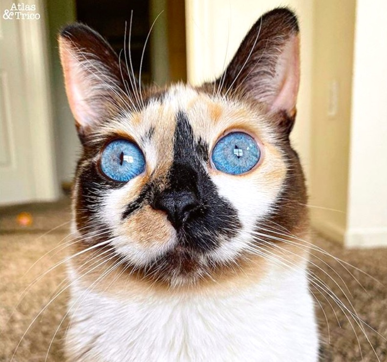 Atlas a Siamese Mix with calico coat and sparkling blue eyes
