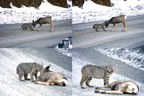 Bobcat kills mule deer on road