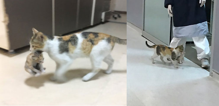 Calico street cat brings kitten to A&E for treatment