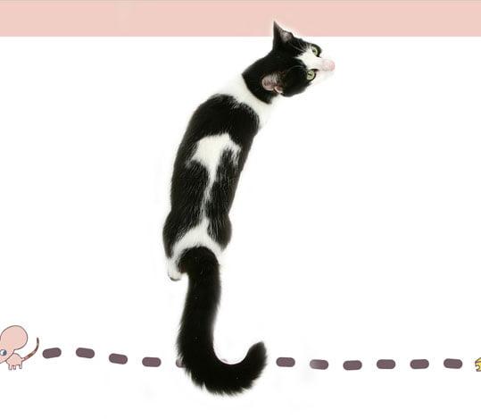 Domestic cat of correct body conformation
