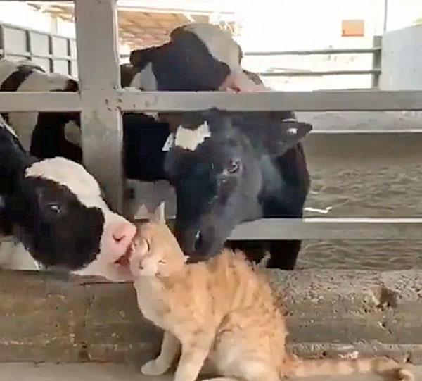Cows love cat