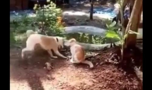 Dog karate kicks cat