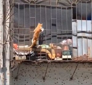 Domestic cat mission impossible