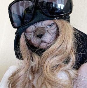 Dressed-up Sphynx cat