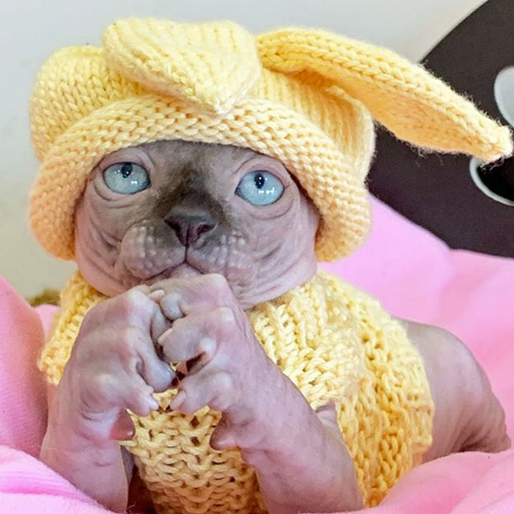 Dressed-up hairless cat
