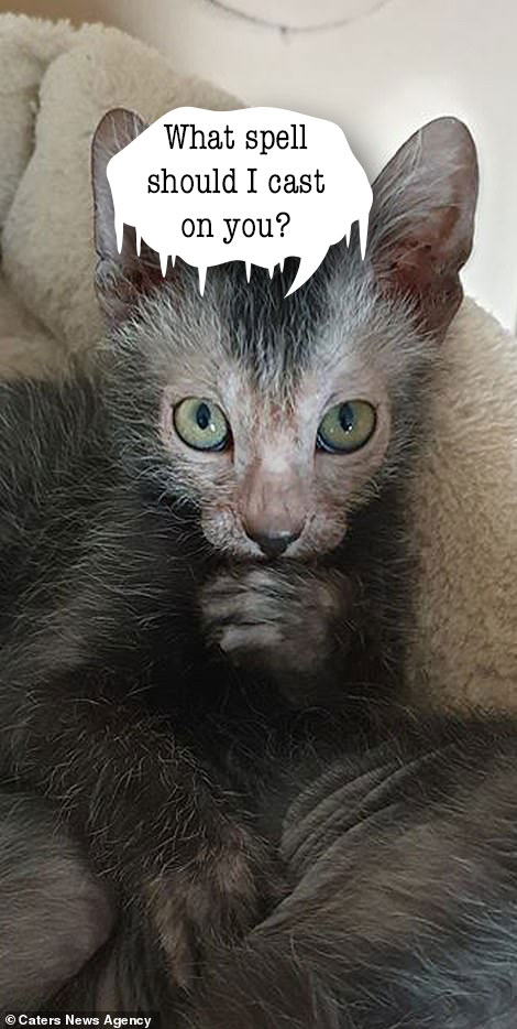 Lykoi cat with thought bubble