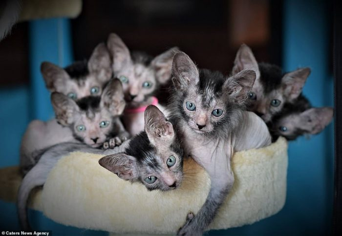 Lykoi youngsters