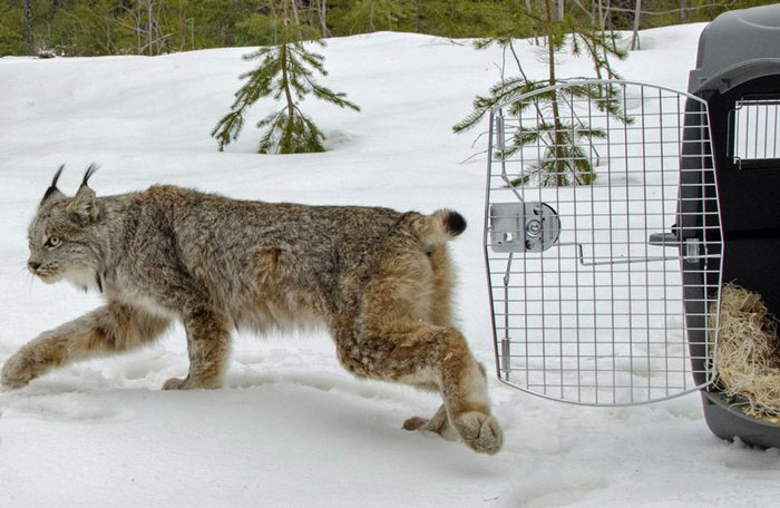 Lynx caught in Michigan