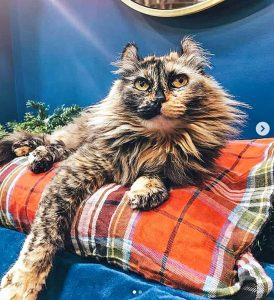 Maine Coon American Curl hybrid mix