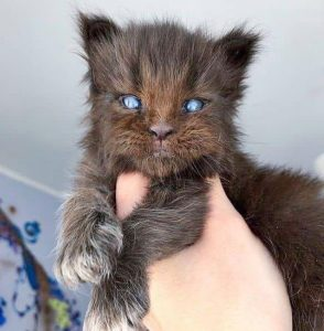 Maine Coon kitten looks like a baby werewolf