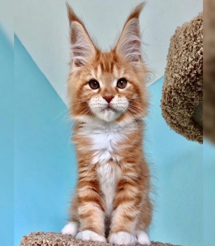 Maine Coon kitten with the tallest biggest ears and lynx tips you'll see