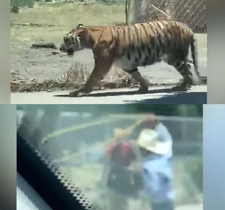 Man lassoed Bengal tiger