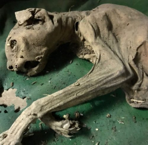 Mummified walled up cat