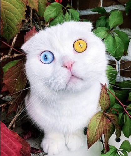 Odd-eyed white Scottish Fold