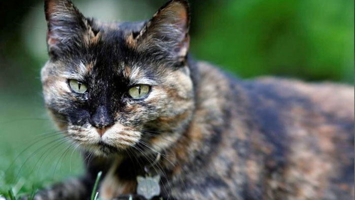 Papille - a tortie cat infected with Covid-19 by her owners in France
