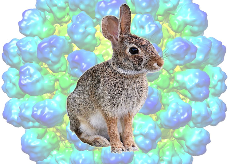 RHDV kills rabbits in their millions