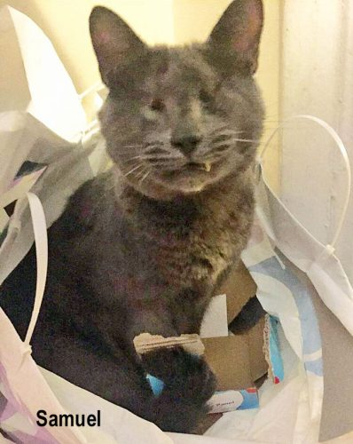 Samuel a loving and highly affectionate blind cat rescued from a hoarder