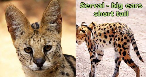 Seval big ears short tail