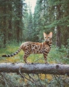 Suki - Bengal cat