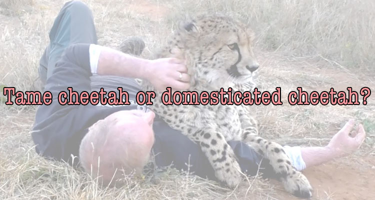 Tame or domesticated cheetah?