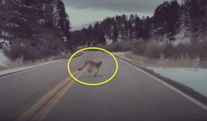 Tesla autopilot avoids puma running across road in Montana
