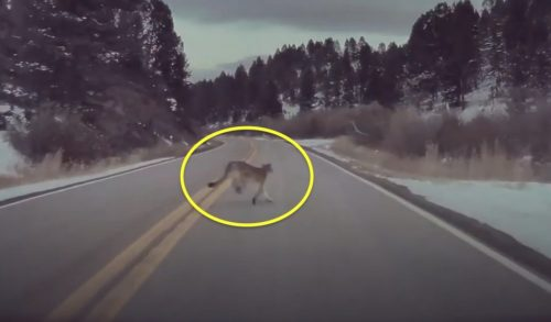Tesla autopilot avoids puma running across road in Montana