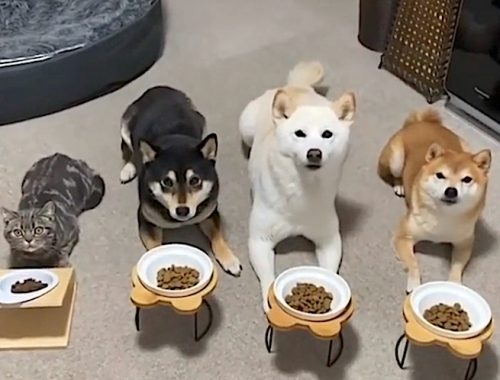 Three dogs and one cat feed in sync