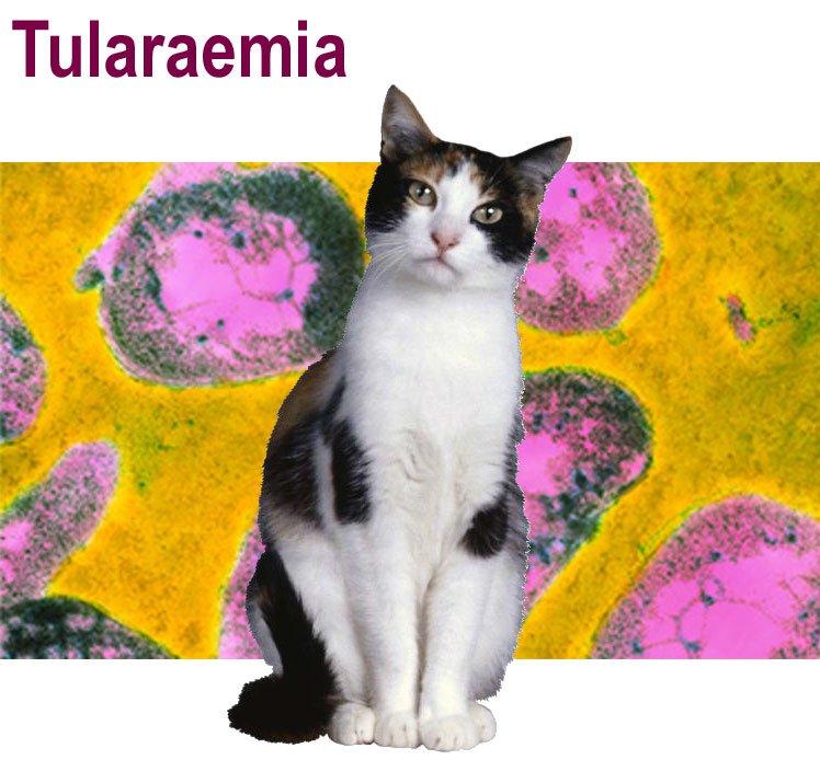 Tularaemia in cats