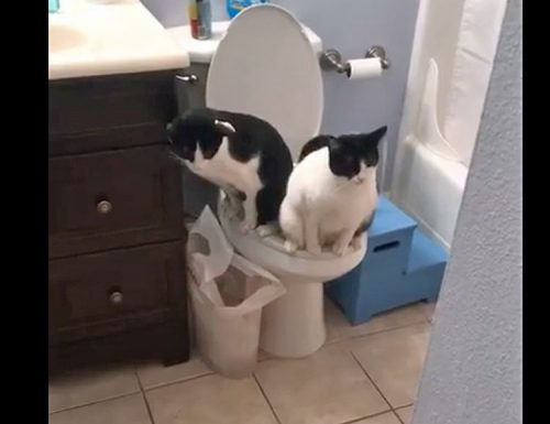 Two cats peeing or pooping on a human toilet at the same time