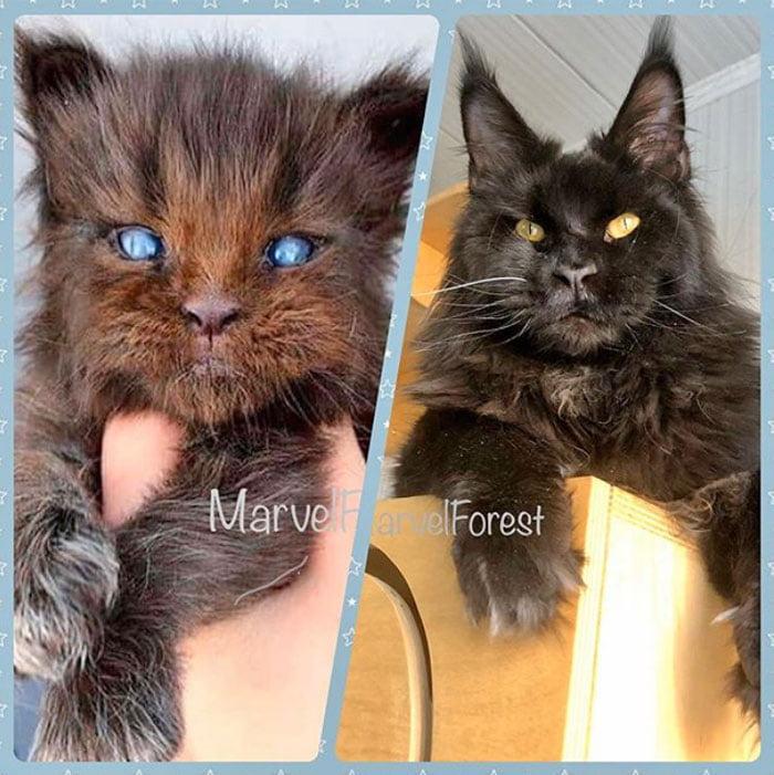 Werewolf Maine Coon kitty