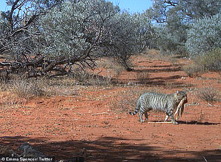 Australian feral cat described as 'enormous'