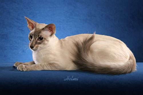 Balinese cat Kareem