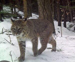 Bobcat in Michigan