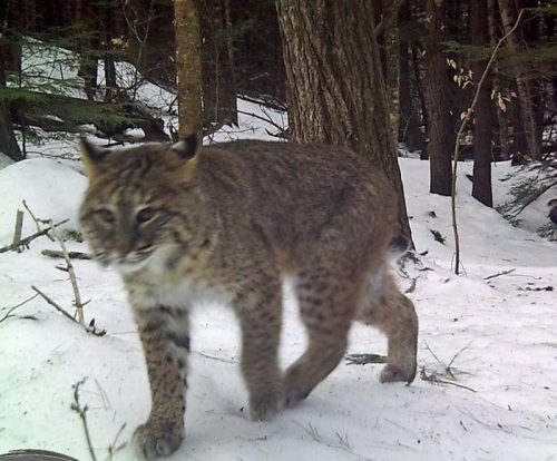 Bobcat in Michigan