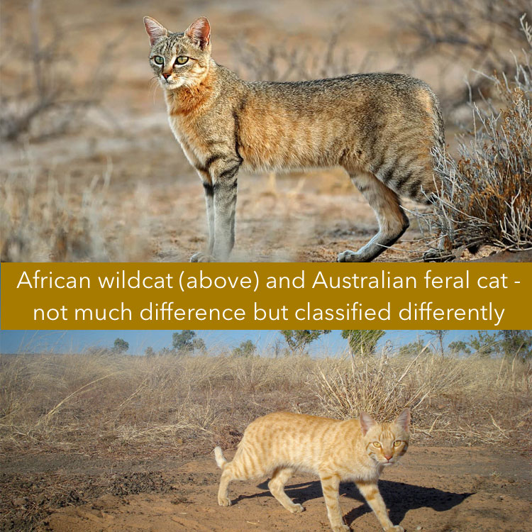 Difference between wild cat and feral cat