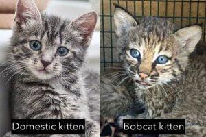 Domestic kitten versus bobcat kitten in appearance