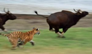 Tiger attacks gaurs