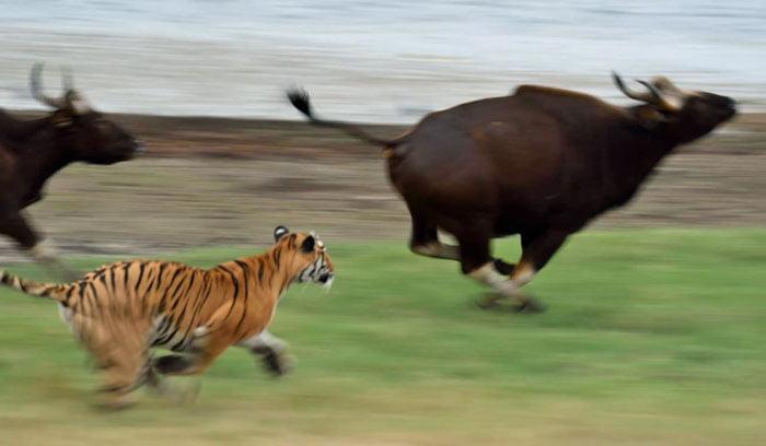 Tiger attacks gaurs