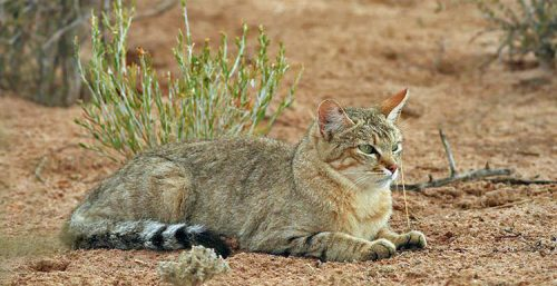 An African wildcat looking like a hybrid and a tabby domestic cat