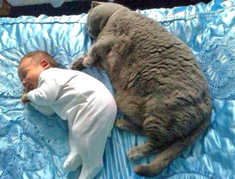 Big British Shorthair cat and sleeping baby